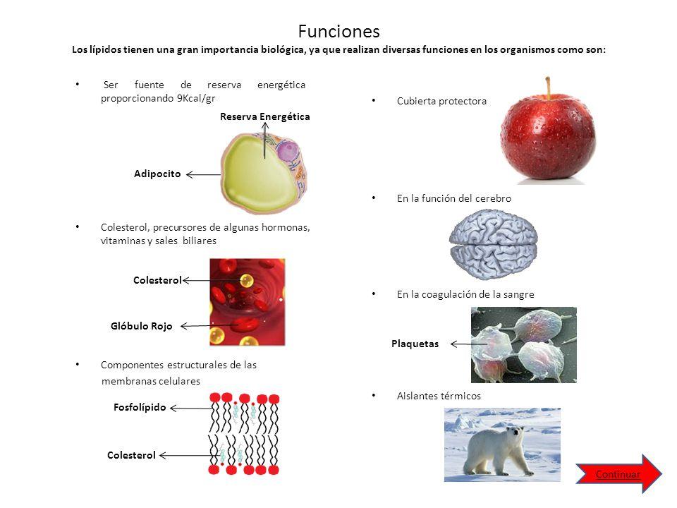 Funciones Los lípidos tienen una gran importancia biológica, ya que realizan diversas funciones en los organismos como son: Ser fuente de reserva energética proporcionando 9Kcal/gr Colesterol Glóbulo Rojo Cubierta protectora Reserva Energética Adipocito Colesterol Fosfolípido Plaquetas Componentes estructurales de las membranas celulares Colesterol, precursores de algunas hormonas, vitaminas y sales biliares En la función del cerebro Aislantes térmicos En la coagulación de la sangre Continuar