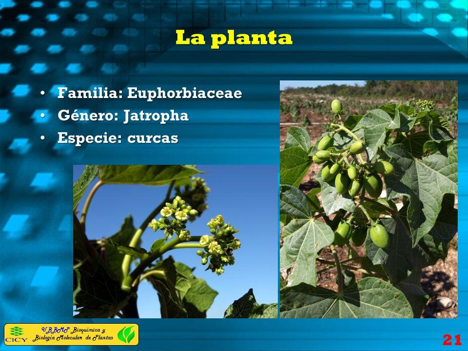 UBBMP Bioquímica y Biología Molecular de Plantas La planta Familia: EuphorbiaceaeFamilia: Euphorbiaceae Género: JatrophaGénero: Jatropha Especie: curc