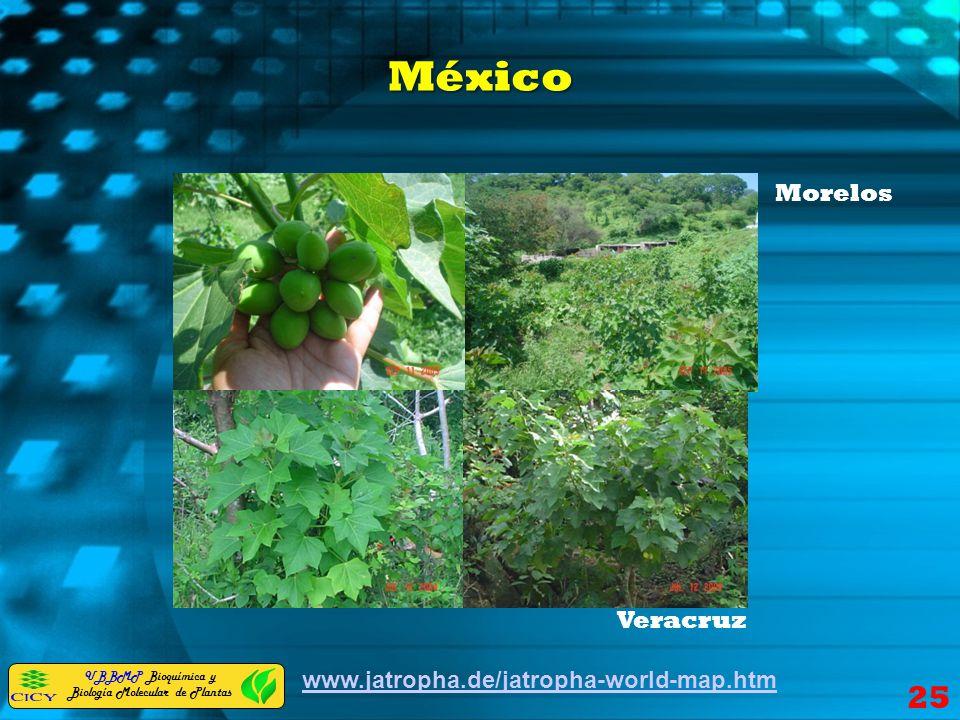 UBBMP Bioquímica y Biología Molecular de Plantas México www.jatropha.de/jatropha-world-map.htm Veracruz Morelos 25