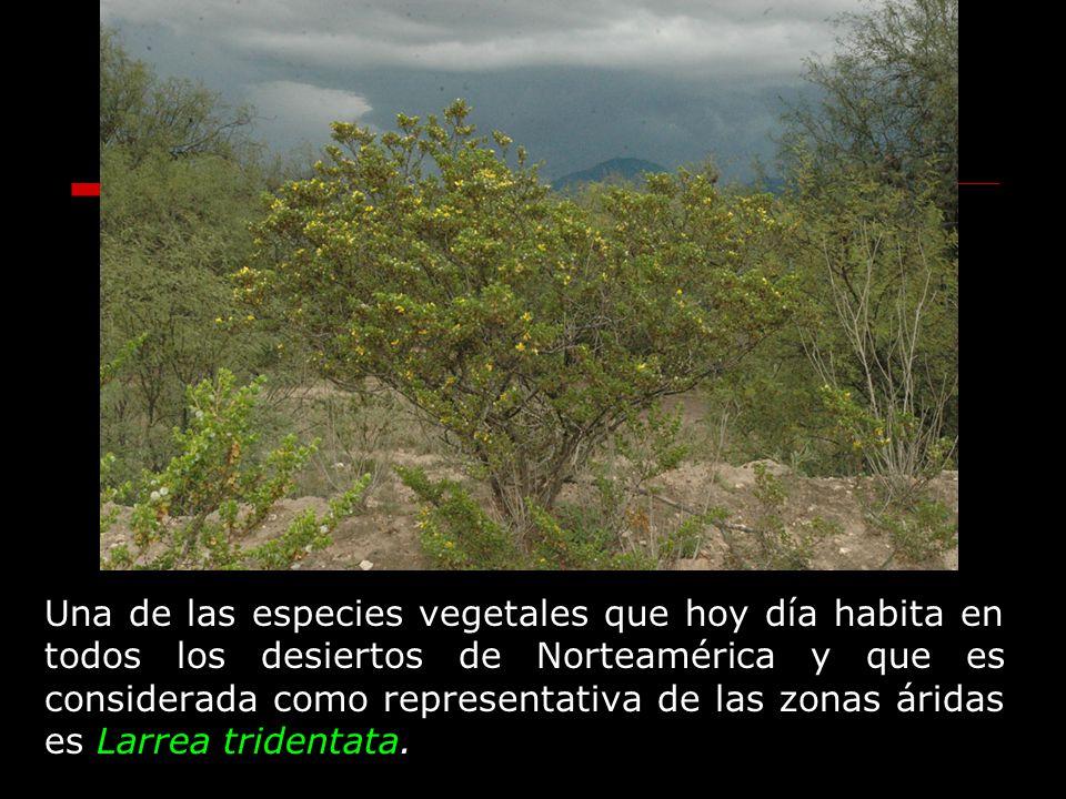 Una de las especies vegetales que hoy día habita en todos los desiertos de Norteamérica y que es considerada como representativa de las zonas áridas e