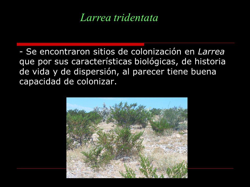 - Se encontraron sitios de colonización en Larrea que por sus características biológicas, de historia de vida y de dispersión, al parecer tiene buena