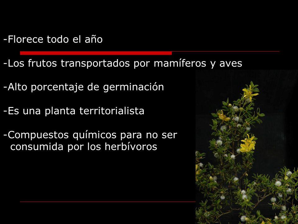 -Florece todo el año -Los frutos transportados por mamíferos y aves -Alto porcentaje de germinación -Es una planta territorialista -Compuestos químico