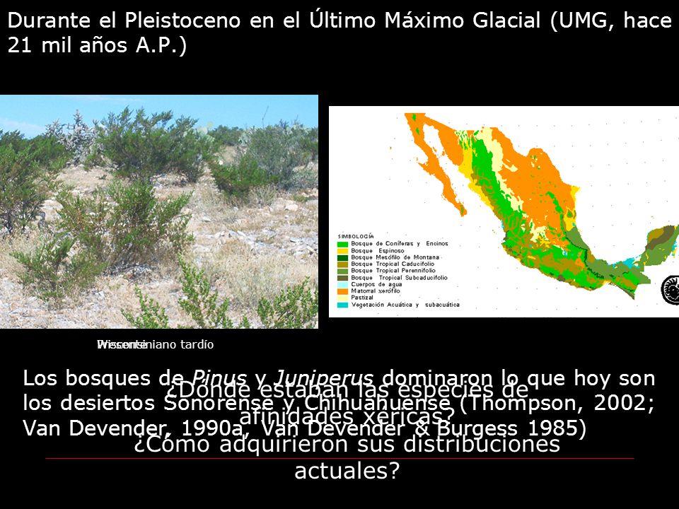Durante el Pleistoceno en el Último Máximo Glacial (UMG, hace 21 mil años A.P.) Wisconsiniano tardío Los bosques de Pinus y Juniperus dominaron lo que