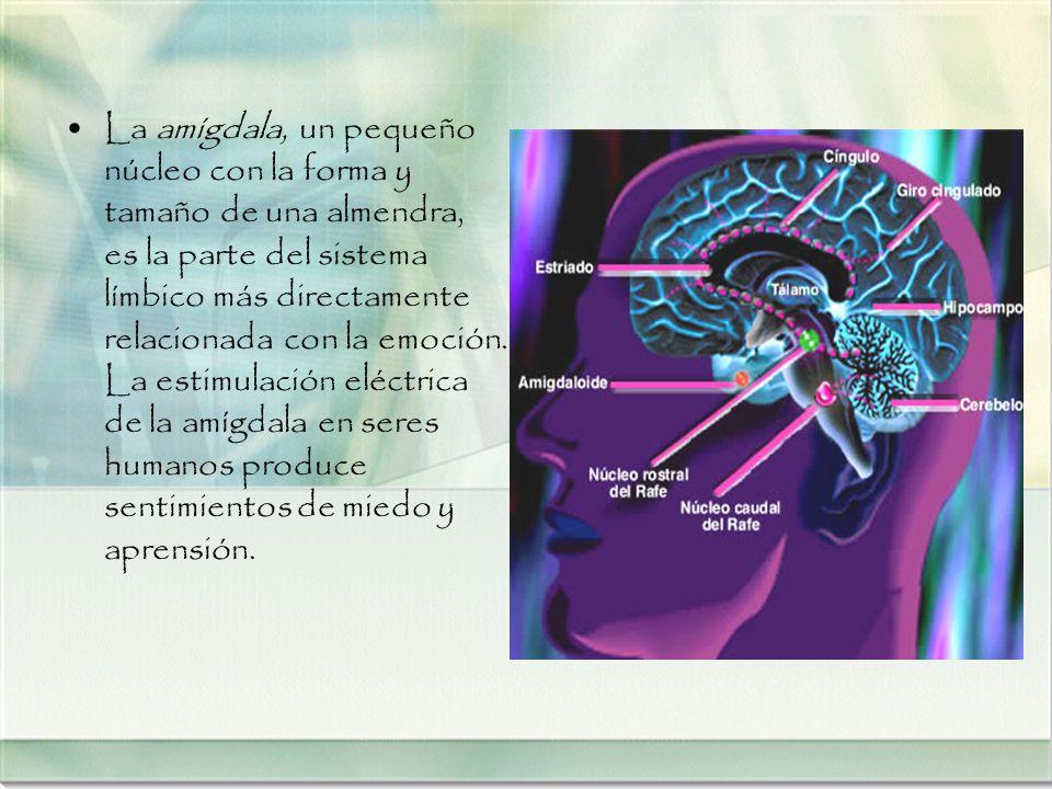La amígdala, un pequeño núcleo con la forma y tamaño de una almendra, es la parte del sistema límbico más directamente relacionada con la emoción. La