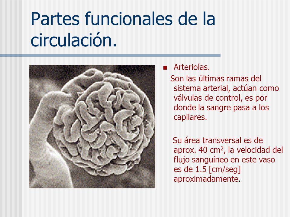 Partes funcionales de la circulación. Arterias. Transporta sangre bajo un presión muy elevada a los tejidos. Su área transversal aproximada es de 20 c