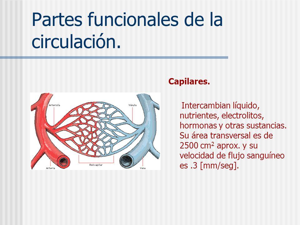 Partes funcionales de la circulación. Arteriolas. Son las últimas ramas del sistema arterial, actúan como válvulas de control, es por donde la sangre