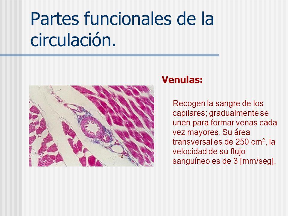 Partes funcionales de la circulación. Capilares. Intercambian líquido, nutrientes, electrolitos, hormonas y otras sustancias. Su área transversal es d