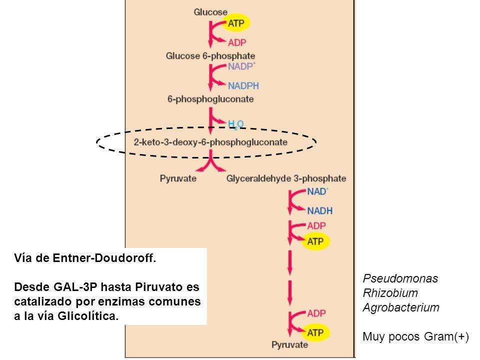 Vía de Entner-Doudoroff. Desde GAL-3P hasta Piruvato es catalizado por enzimas comunes a la vía Glicolítica. Pseudomonas Rhizobium Agrobacterium Muy p