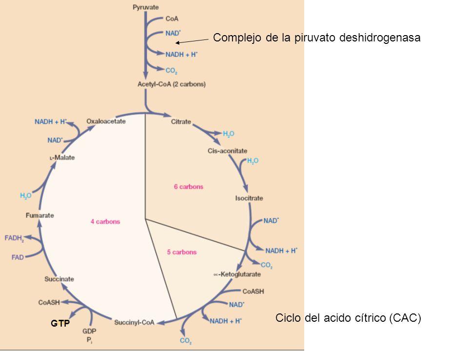 Complejo de la piruvato deshidrogenasa Ciclo del acido cítrico (CAC) GTP