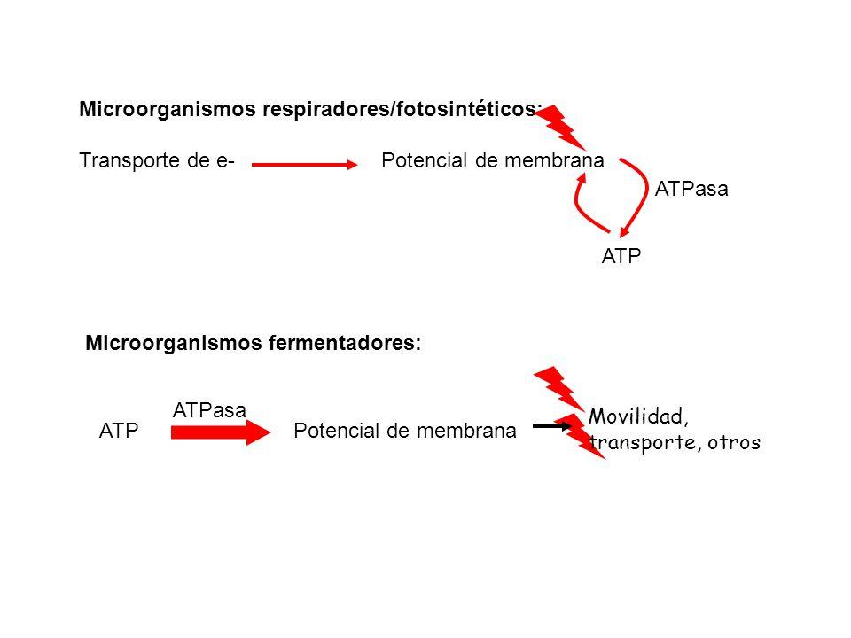 Microorganismos fermentadores: ATP ATPasa Potencial de membrana Movilidad, transporte, otros Microorganismos respiradores/fotosintéticos: Transporte d