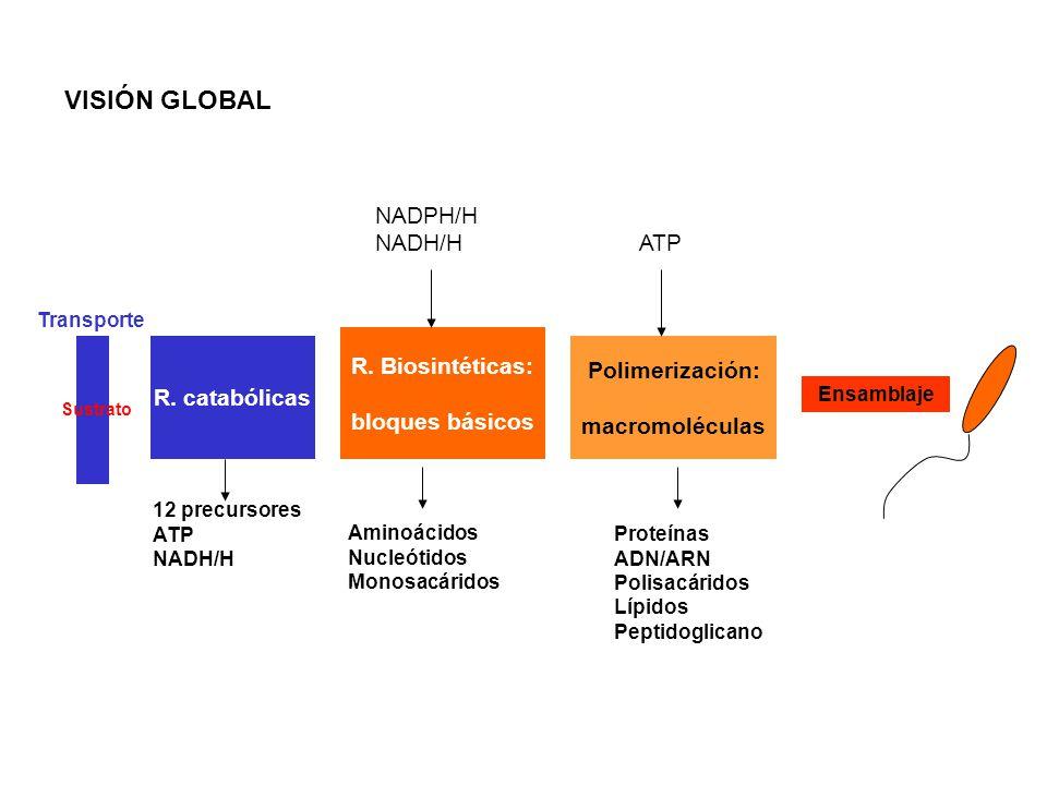 VISIÓN GLOBAL Ensamblaje R. catabólicas 12 precursores ATP NADH/H Sustrato Transporte R. Biosintéticas: bloques básicos Aminoácidos Nucleótidos Monosa