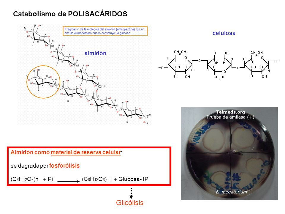 Catabolismo de POLISACÁRIDOS celulosa almidón Almidón como material de reserva celular: se degrada por fosforólisis (C 6 H 12 O 6 )n + Pi (C 6 H 12 O