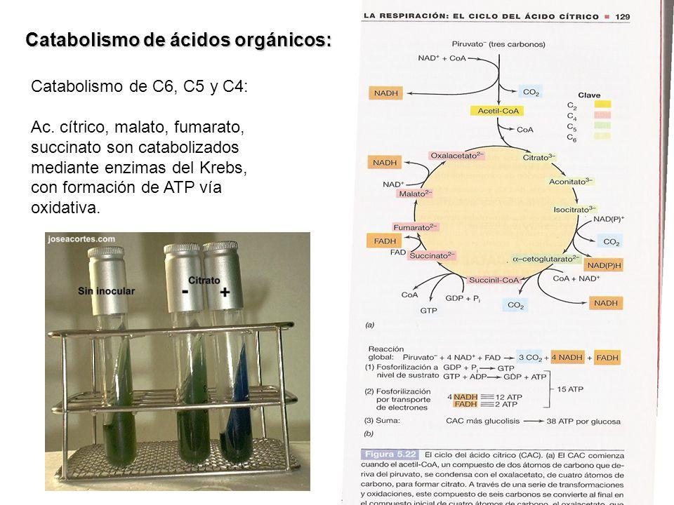 Catabolismo de C6, C5 y C4: Ac. cítrico, malato, fumarato, succinato son catabolizados mediante enzimas del Krebs, con formación de ATP vía oxidativa.