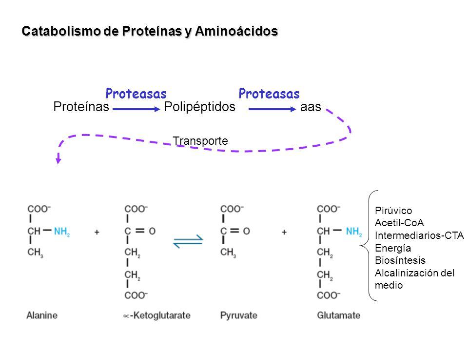 Catabolismo de Proteínas y Aminoácidos Proteínas Polipéptidosaas Proteasas Transporte Pirúvico Acetil-CoA Intermediarios-CTA Energía Biosíntesis Alcal