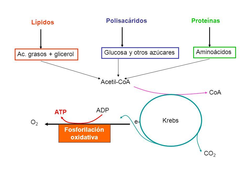 Lípidos PolisacáridosProteínas Ac. grasos + glicerol Glucosa y otros azúcares Aminoácidos Acetil-CoA CoA Krebs CO 2 Fosforilación oxidativa ATP ADP O2