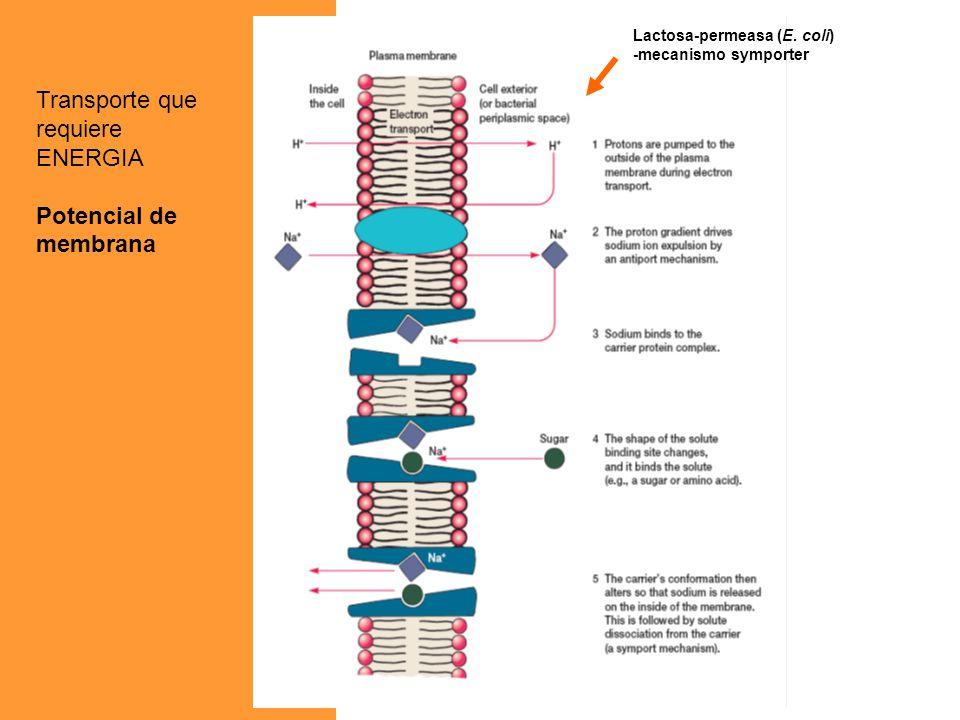 Lactosa-permeasa (E. coli) -mecanismo symporter Transporte que requiere ENERGIA Potencial de membrana