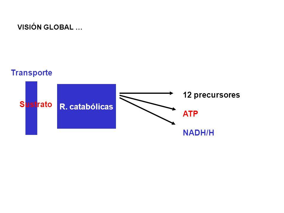 Catabolismo de Proteínas y Aminoácidos Proteínas Polipéptidosaas Proteasas Transporte Pirúvico Acetil-CoA Intermediarios-CTA Energía Biosíntesis Alcalinización del medio