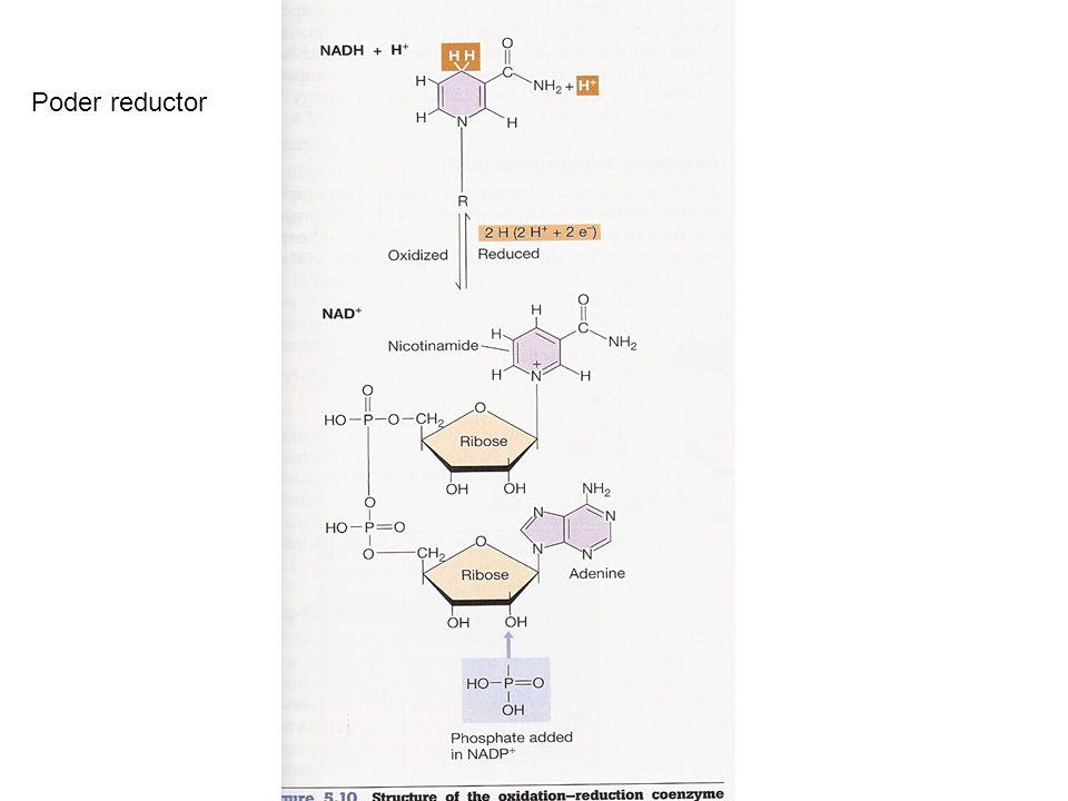 ¿Cómo se recupera el pool de NAD+ en microorganismos fermentadores?