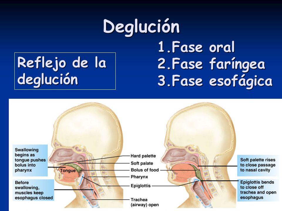 Deglución 1.Fase oral 2.Fase faríngea 3.Fase esofágica Reflejo de la deglución