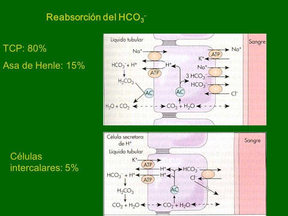 CREACION DE NUEVO HCO 3 - Células intercalares: secreción de H + y reabsorción de HCO 3 - Los H + se combinan con buffers urinarios: fosfato y amonio