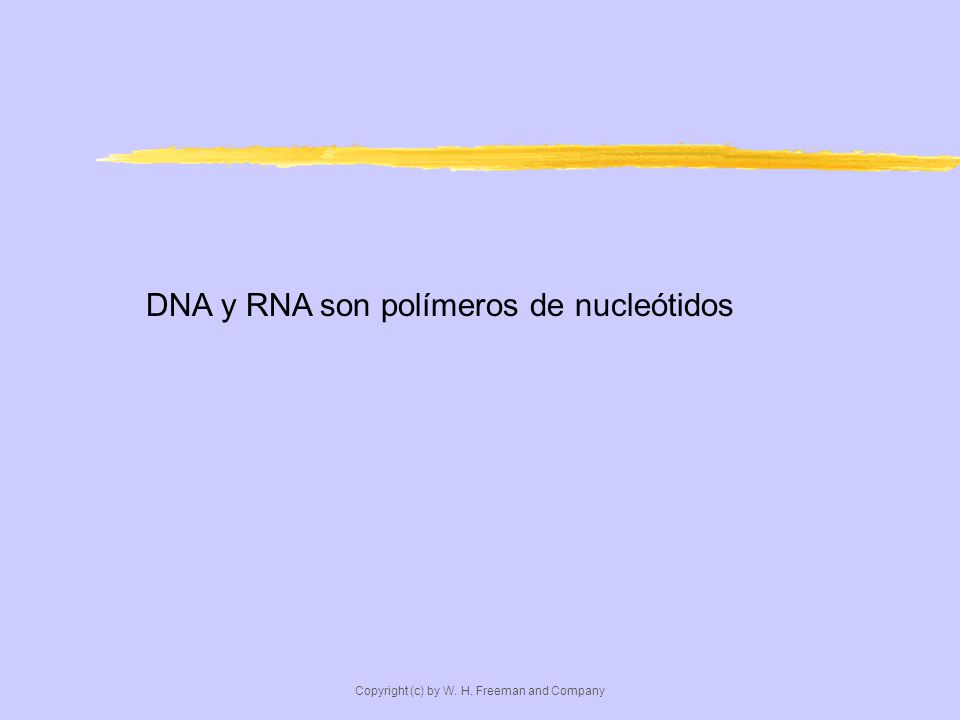 DNA y RNA son polímeros de nucleótidos