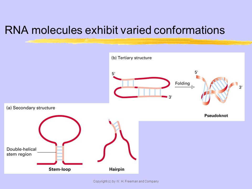 RNA molecules exhibit varied conformations