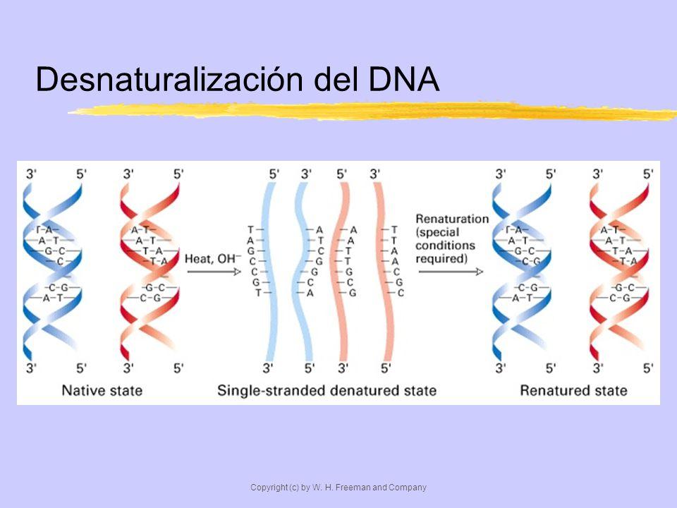 Desnaturalización del DNA