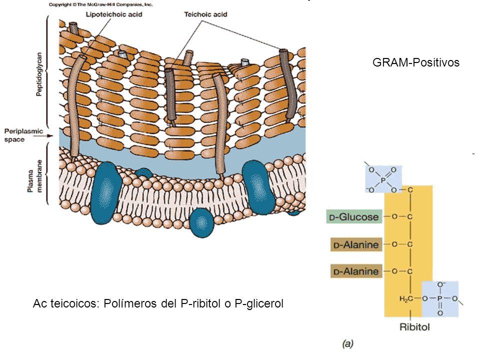 Ac teicoicos: Polímeros del P-ribitol o P-glicerol GRAM-Positivos