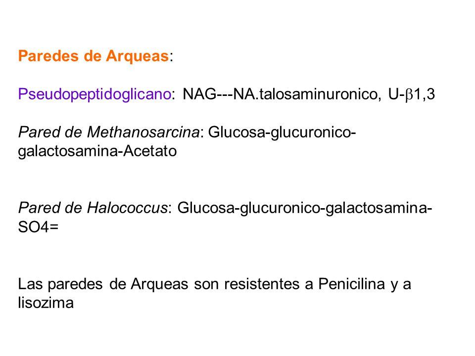 Paredes de Arqueas: Pseudopeptidoglicano: NAG---NA.talosaminuronico, U- 1,3 Pared de Methanosarcina: Glucosa-glucuronico- galactosamina-Acetato Pared
