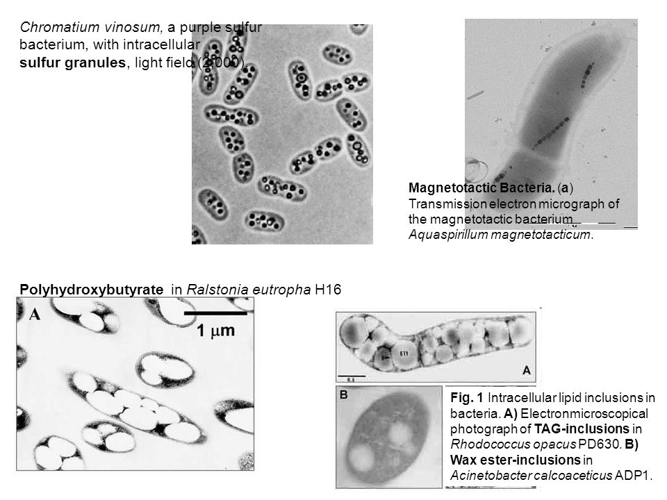 Fig. 1 Intracellular lipid inclusions in bacteria. A) Electronmicroscopical photograph of TAG-inclusions in Rhodococcus opacus PD630. B) Wax ester-inc