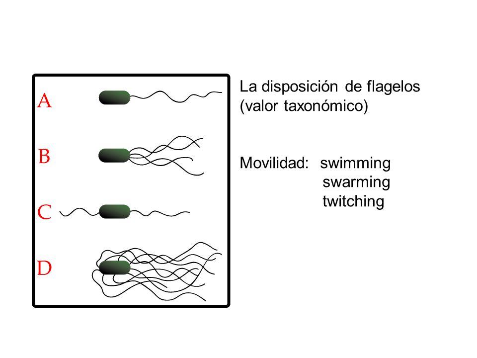 La disposición de flagelos (valor taxonómico) Movilidad: swimming swarming twitching
