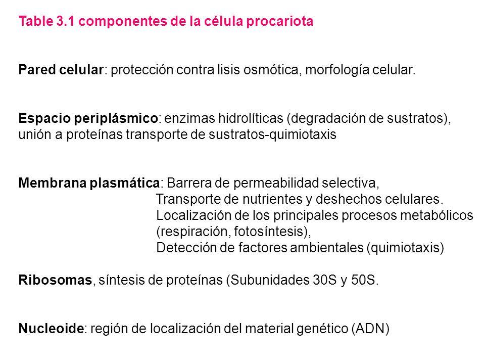 Table 3.1 componentes de la célula procariota Pared celular: protección contra lisis osmótica, morfología celular. Espacio periplásmico: enzimas hidro