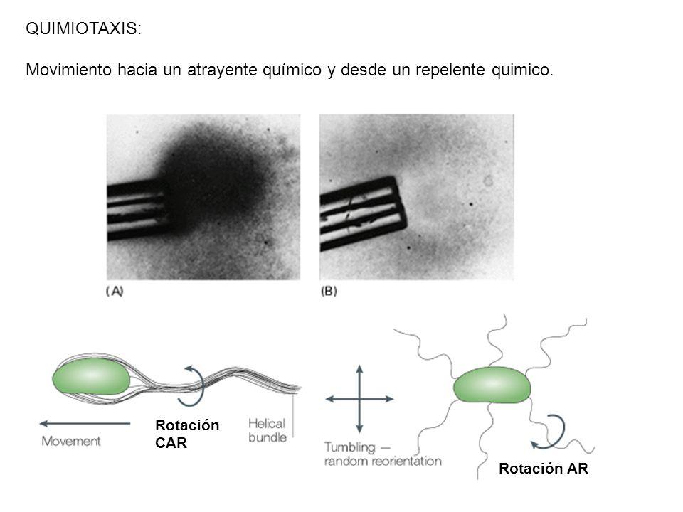 Rotación CAR Rotación AR QUIMIOTAXIS: Movimiento hacia un atrayente químico y desde un repelente quimico.