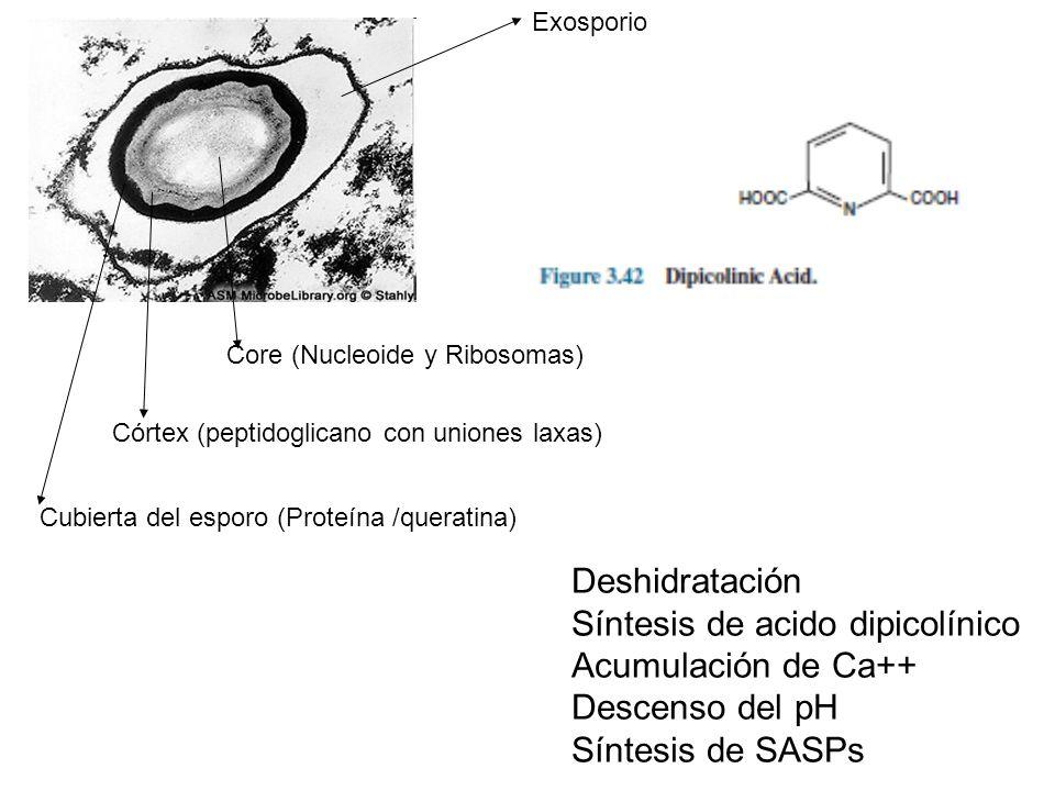 Exosporio Cubierta del esporo (Proteína /queratina) Córtex (peptidoglicano con uniones laxas) Core (Nucleoide y Ribosomas) Deshidratación Síntesis de