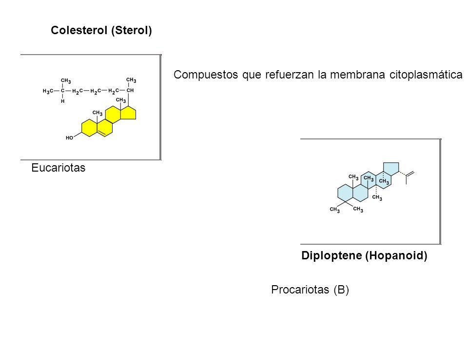 Diploptene (Hopanoid) Colesterol (Sterol) Compuestos que refuerzan la membrana citoplasmática Eucariotas Procariotas (B)