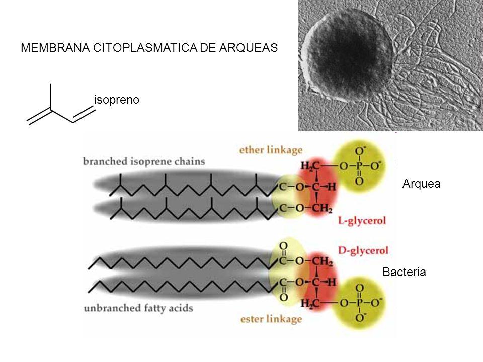 MEMBRANA CITOPLASMATICA DE ARQUEAS isopreno Bacteria Arquea