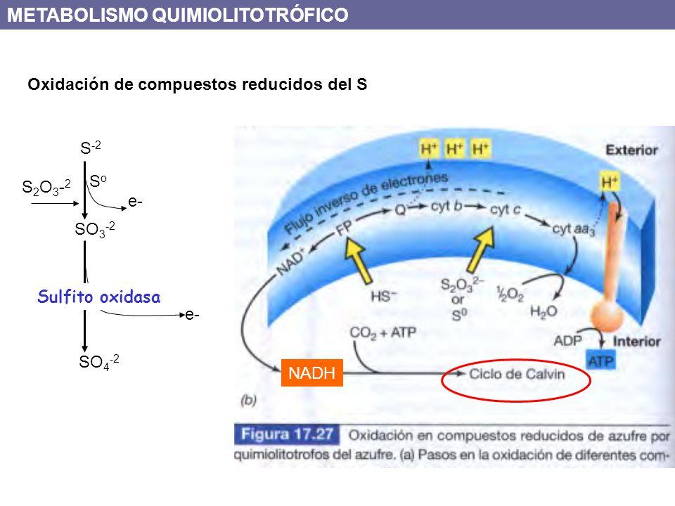 Oxidación de compuestos reducidos del S S -2 SO 3 -2 SoSo SO 4 -2 Sulfito oxidasa e- S2O3-2S2O3-2 NADH METABOLISMO QUIMIOLITOTRÓFICO
