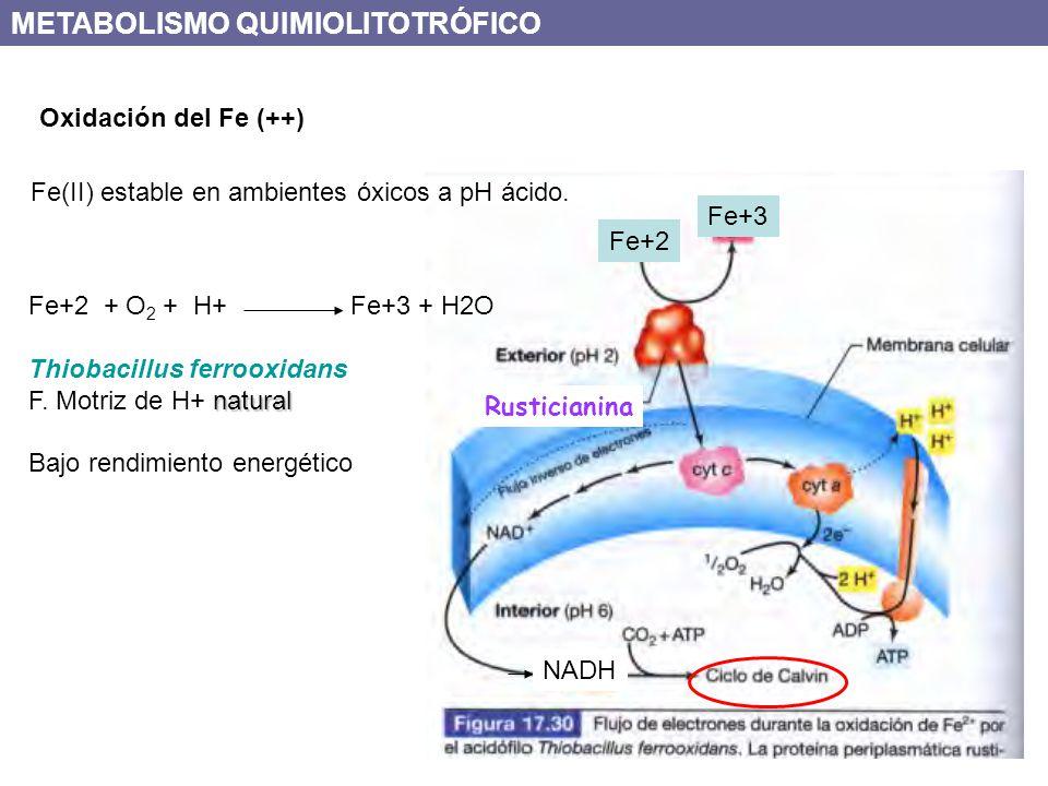 Oxidación del Fe (++) Fe+2 Fe+3 NADH Rusticianina Fe(II) estable en ambientes óxicos a pH ácido. METABOLISMO QUIMIOLITOTRÓFICO Fe+2 + O 2 + H+ Fe+3 +