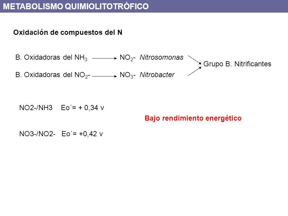 Oxidación de compuestos del N B. Oxidadoras del NH 3 NO 2 - Nitrosomonas B. Oxidadoras del NO 2 - NO 3 - Nitrobacter Grupo B. Nitrificantes NO2-/NH3 E