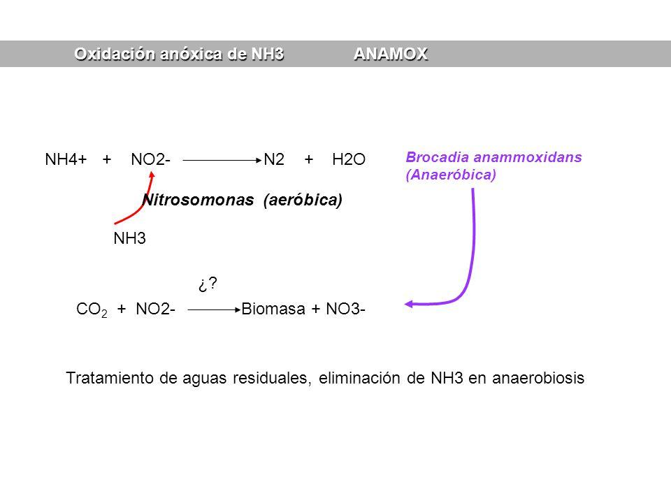 Oxidación anóxica de NH3 ANAMOX NH4+ + NO2- N2 + H2O Brocadia anammoxidans (Anaeróbica) NH3 Nitrosomonas (aeróbica) CO 2 + NO2- Biomasa + NO3- ¿? Trat