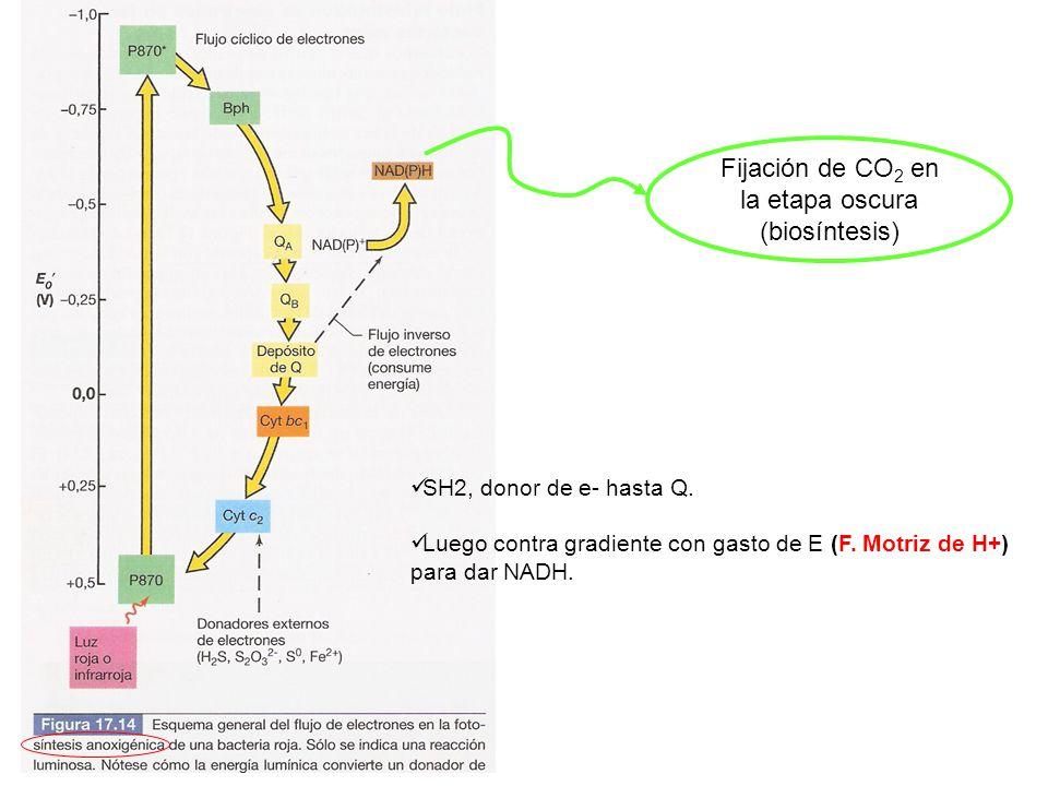 Fijación de CO 2 en la etapa oscura (biosíntesis) SH2, donor de e- hasta Q. Luego contra gradiente con gasto de E (F. Motriz de H+) para dar NADH.