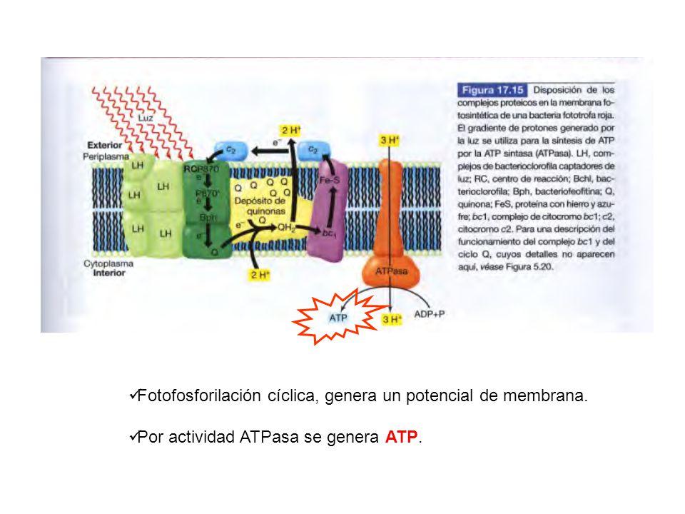 Fotofosforilación cíclica, genera un potencial de membrana. Por actividad ATPasa se genera ATP.