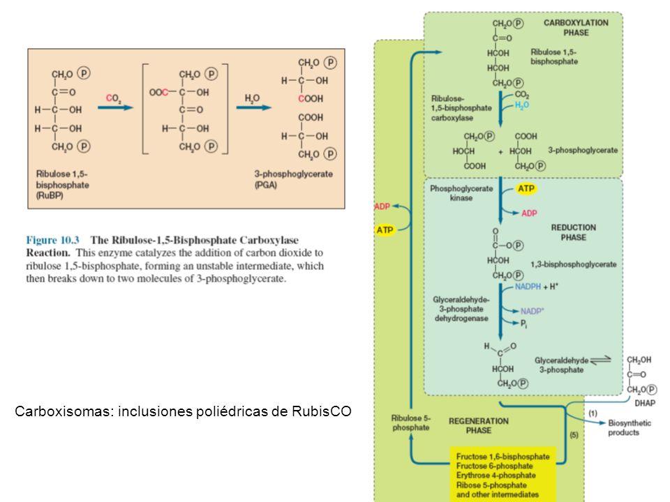 Carboxisomas: inclusiones poliédricas de RubisCO