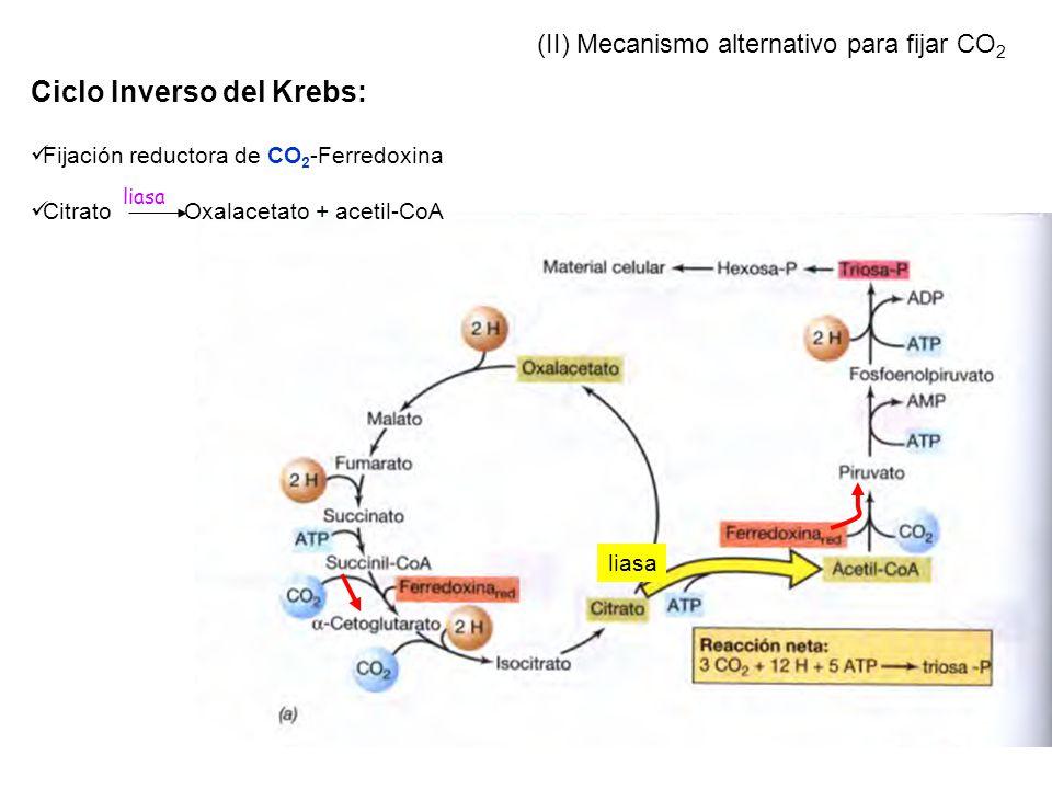 liasa (II) Mecanismo alternativo para fijar CO 2 Ciclo Inverso del Krebs: Fijación reductora de CO 2 -Ferredoxina Citrato Oxalacetato + acetil-CoA lia