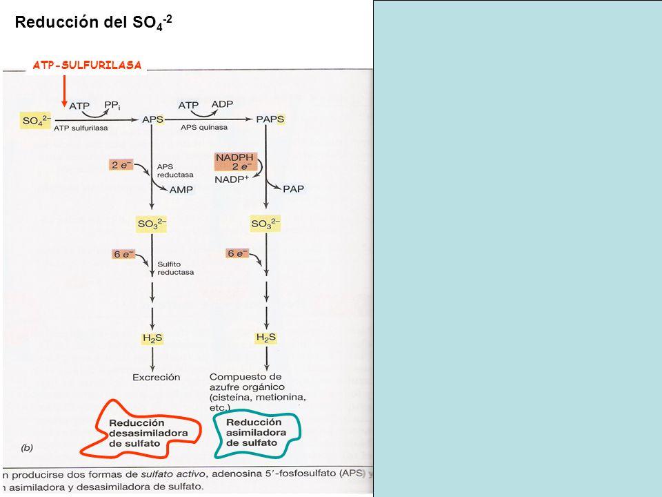 NO2- NO3- Oxidorreductasa (NOR) e- Ciclo Calvin CO2 Biomasa NADH por Flujo inverso de e- ATP