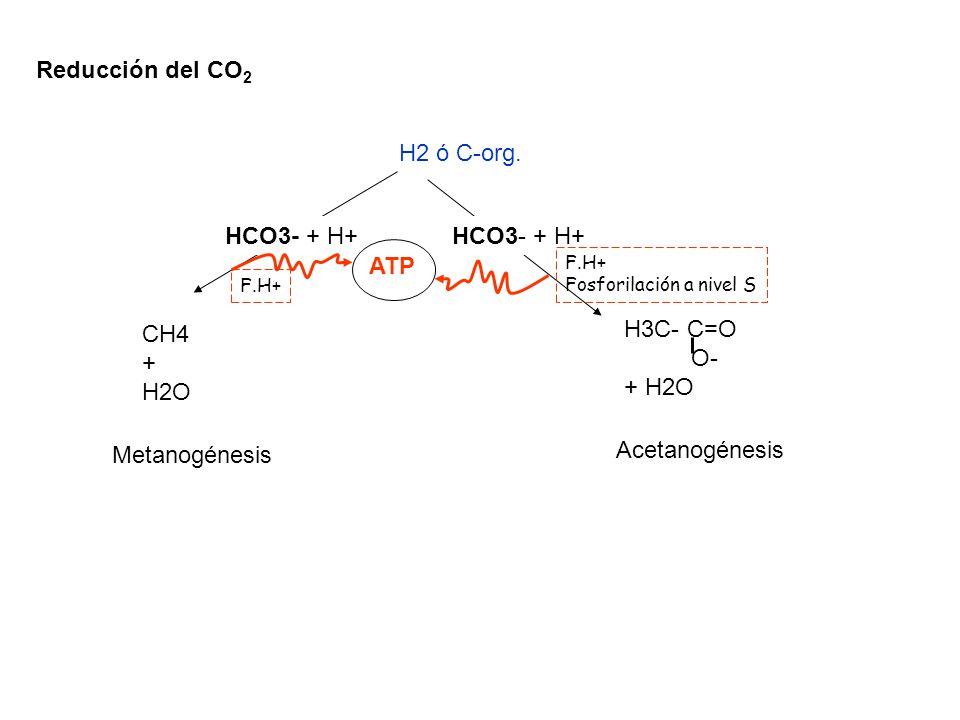 Reducción del CO 2 H2 ó C-org. CH4 + H2O H3C- C=O O- + H2O HCO3- + H+ Metanogénesis Acetanogénesis ATP F.H+ Fosforilación a nivel S