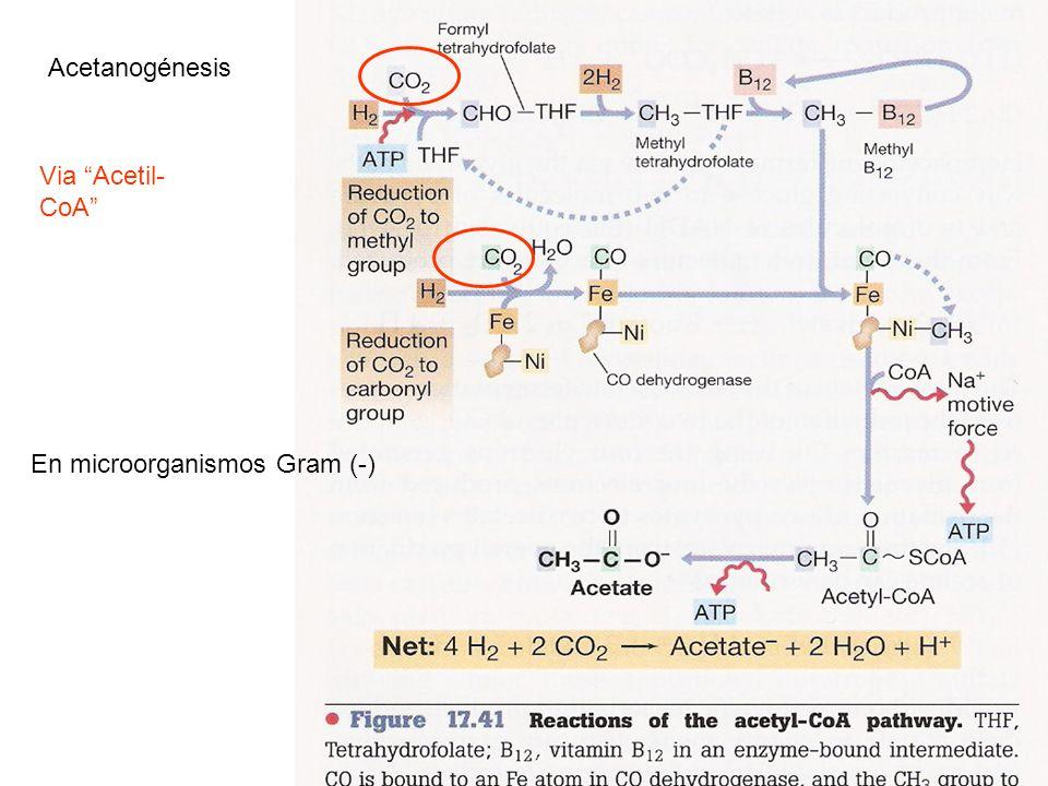Metanogénesis Arqueas anaerobias estrictas Co-Enz exclusivas de la metanogénesis 1-CO2 activado por Enz-Metanofurano y reducido a formilo.