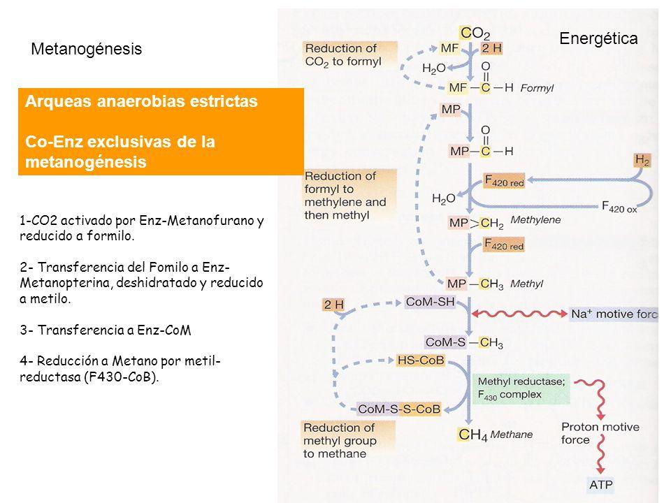 Metanogénesis Arqueas anaerobias estrictas Co-Enz exclusivas de la metanogénesis 1-CO2 activado por Enz-Metanofurano y reducido a formilo. 2- Transfer