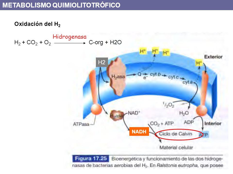 H2 NADH H 2 + CO 2 + O 2 C-org + H2O Oxidación del H 2 Hidrogenasa METABOLISMO QUIMIOLITOTRÓFICO