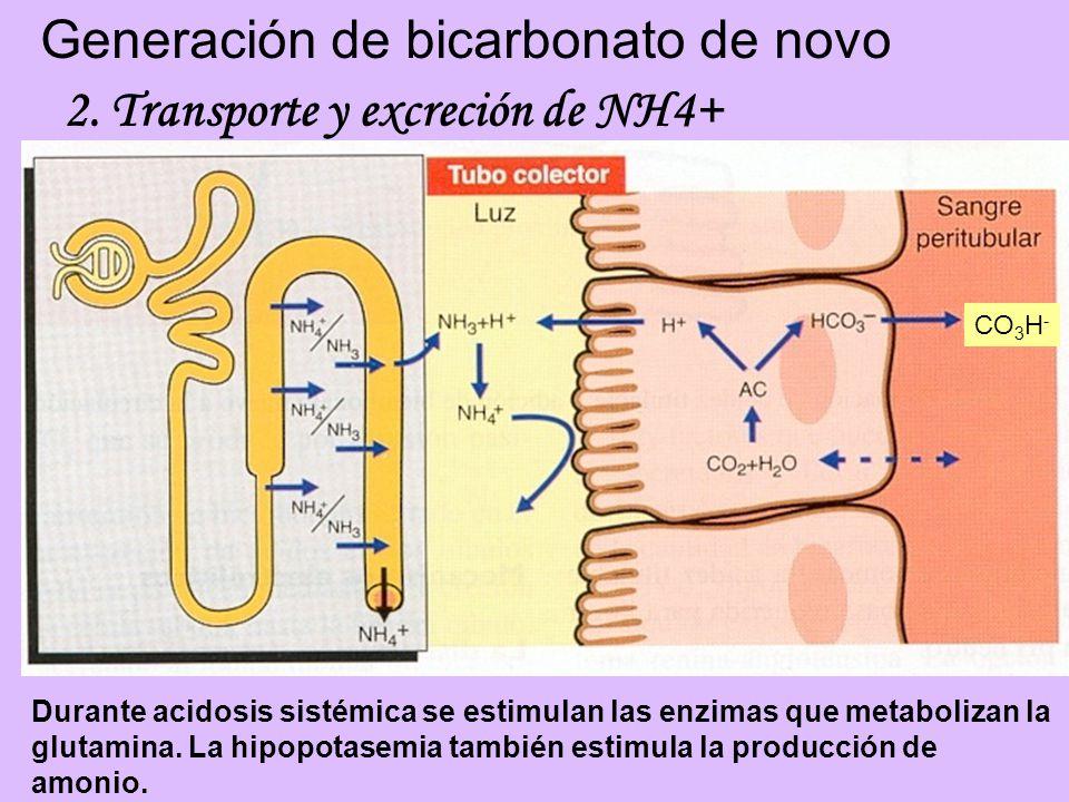 Generación de bicarbonato de novo CO 3 H - 2. Transporte y excreción de NH4+ Durante acidosis sistémica se estimulan las enzimas que metabolizan la gl